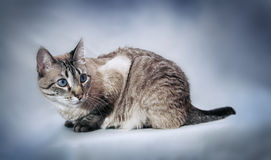 Cat posing Royalty Free Stock Image