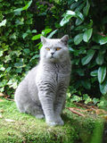 Cat posing. British Shorthair Blue male posing by river in garden Stock Image