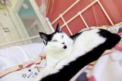 Cat posing Royalty Free Stock Image