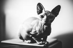 Cat Posing Fotografía de archivo libre de regalías