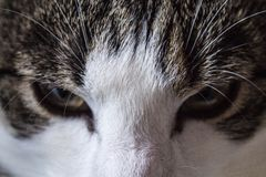Cat eyes up-close posing face. Cat posing an angry look with eyes open ready for anything stock photos