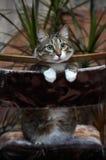 Cat posing for camera. Royalty Free Stock Photo