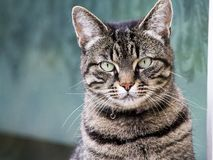 Cat posing for the camera. royalty free stock photos