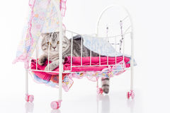 Cat posing in doll bed Royalty Free Stock Image
