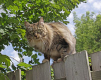 Cat Posing on a Fence. A domestic cat posing on top of a fence Royalty Free Stock Image