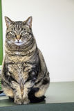 Cat posing for her portrait Royalty Free Stock Images