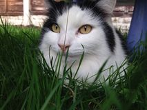 Cat posing. My cat in my garden lying down Stock Image