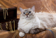 Cat posing next to treasure chest. Ragdoll adult cat with treasure chest and gold chains Stock Photography