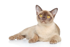 Cat posing on a white background Stock Image