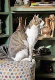 Cat posing on white tabure / taburete Stock Images