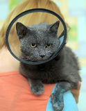 Cat in the postoperative collar Stock Photos