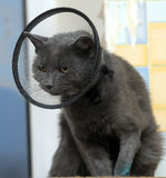 Cat in the postoperative collar Stock Images
