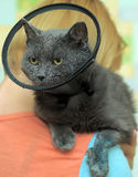 Cat in the postoperative collar Royalty Free Stock Photos