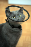 Cat in the postoperative collar Royalty Free Stock Photo