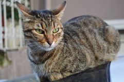 Cat Potrait. Bengal cat cat to sit porch outside outdoors pet animal domestic wild striped green eye whisker nose pink ear royalty free stock photography