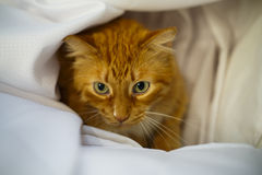 Cat Pounce. A cat hides in a blanket Royalty Free Stock Images