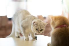 Cat Power Staring blanca en el gato tímidamente marrón fotografía de archivo libre de regalías