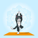 Cat practice yoga Stock Photography