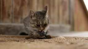 Cat predator caught a bird and eats his prey. Nature. stock footage
