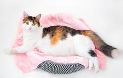 Cat Pregnancy Gato de chita grávido com a barriga grande que coloca na tela cor-de-rosa que olha a câmera Fundo branco isolado imagem de stock