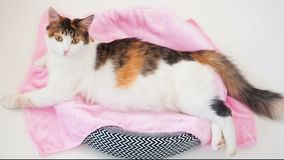 Cat Pregnancy. Pregnant calico cat with big belly laying on the pink fabric looking at camera. White background.  stock footage
