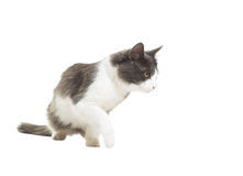Cat prepares to throw. A white background royalty free stock image