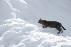 The cat is preparing to jump over a snowdrift stock photography