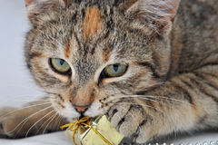 Cat and the present. Cat with an orange spot on her head opening presents Royalty Free Stock Photos