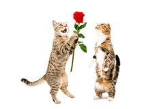 Cat presents a rose to a cat, standing on hind legs. Isolated on white background royalty free stock photos