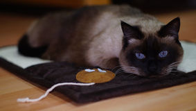 Cat. Pretty cat on floor, siamese cat Royalty Free Stock Photography