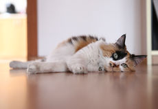 Cat. Pretty cat on floor, tricolor cat Stock Photography