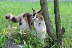 Cat. Pretty cat on grass. Tricolor Cat next to the tree Royalty Free Stock Photos