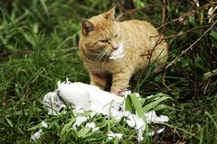 Cat and Prey of Pigeon Stock Photo