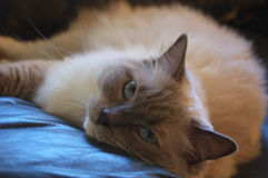 Cat Princess. Ragdoll cat lounging on a blue cushion stock photo