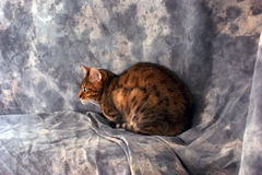 Cat profile. Side view of beautiful bengal cat laying down in front of a mottled grey background Stock Images