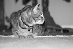 Cat Profile. This is the cat that antagonizes the dog but has been destracted Royalty Free Stock Photography