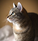 Cat profile -. Beautiful cat is looking up Royalty Free Stock Photo