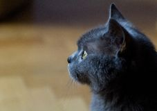 Cat profile. Profile of brithish shorthair cat Royalty Free Stock Photos