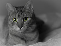 Cat profile. Calm kitten laying on the bed and staring Royalty Free Stock Photo