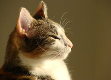 Cat. Profile head domestic cat in the sunshine Royalty Free Stock Photos