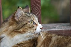 Cat profile soft and furry. Cat, animal, feline, pet, domesticate, profile, portrait, side view, furry, soft, calm, whiskers, green eyes, calico, brown, white stock photography