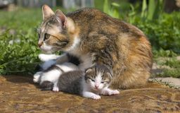 Cat protects kittens Royalty Free Stock Image