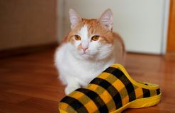 Cat protects slippers. Red cat sitting on the floor and protects sneakers Royalty Free Stock Photo