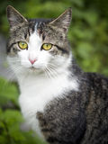 Cat Protrait of a common european house cat. Royalty Free Stock Photos
