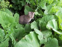 Cat prowl in the bushes. Feisty grey cat in the green bushes on the hunt Stock Images