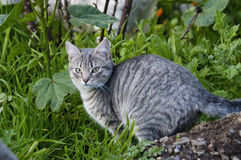 Cat on the prowl. Gray cat lurking in the grass Royalty Free Stock Photos