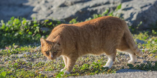 Cat on the prowl. Pretty feral beach cat with beautiful eyes living at the beach Royalty Free Stock Photography