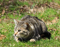 Cat On The Prowl. A cat on the prowl for prey royalty free stock photography