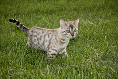 Cat prowling in the grass. Young bengal kitten prowling in the grass stock photography