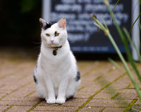 Cat And Pub Specials Board. A grumpy white and black tom cat sits neatly on the pavement in front of a pub information board, like he is the doorman royalty free stock photography